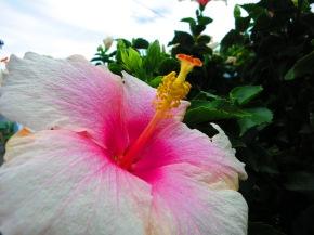 Hawaii´s wundervolle Blütenpracht. UndKava.